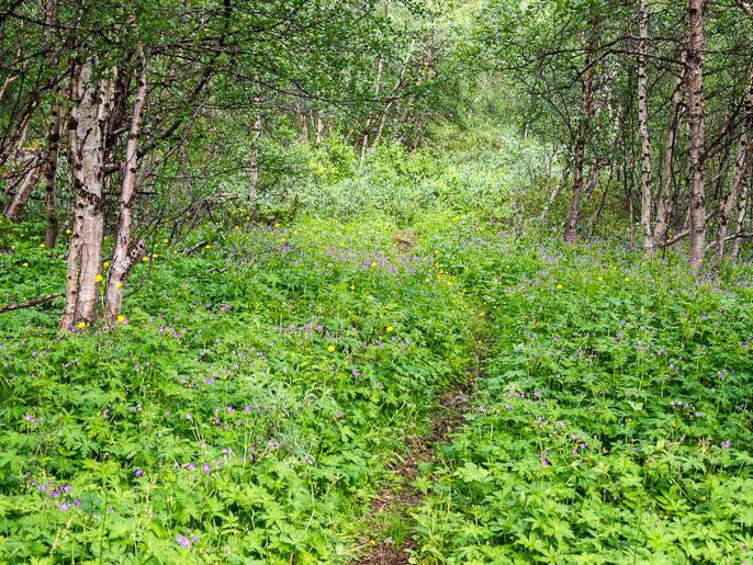 Alkukesästä tuntureilla pääsee nopeasti lumelta kukkivaan metsään. Kamajaure, Ruotsi
