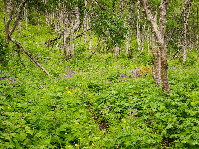 Toinen päivä alkoi kukkivassa koivikossa, polku kulkee oikeasta alanurkasta kuvan keskelle. Pålnovarasj, Ruotsi