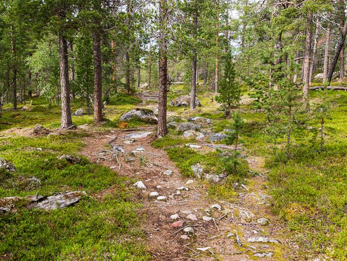 Motivaatio nousi korkealle kun mäntymetsä ja juurakkoinen polku muistuttivat Etelä-Suomalaisesta metsästä. Dividalen, Norja