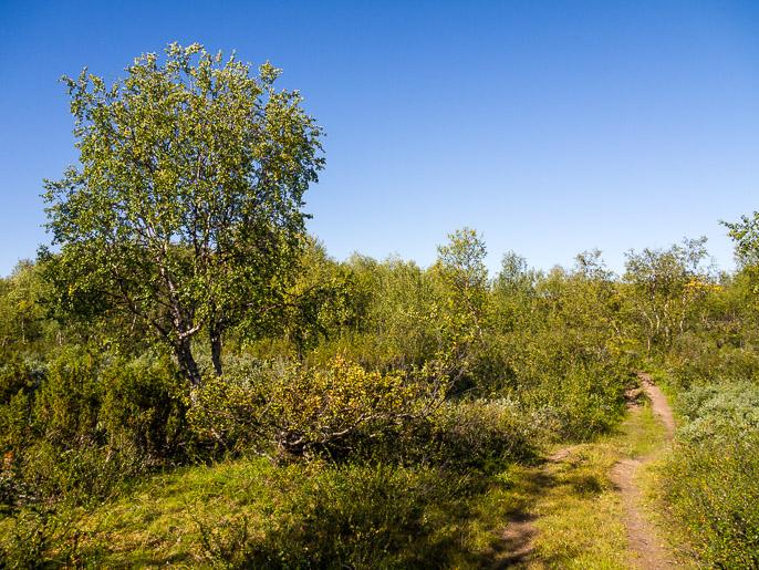 Lyhyt piipahdus avomaalta koivikkoon. Ravttosjavri, Norja