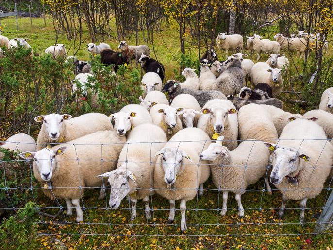 Lampaat tulivat moikkaamaan. Luovttejohka, Norja